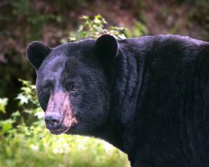 A bear, similar to this one, was seen in McLean this morning. Photo taken by U.S. Fish and Wildlife Service