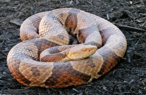 Northern Copperheads, like the one shown here, are living in Fairfax County. Photo taken from VA Herpetological Society webpage