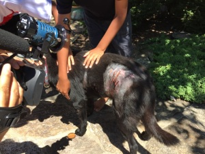 Photo of wounded dog in Great Falls area this week. Photo is courtesy of NBC News 4.