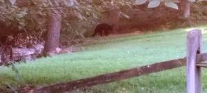 Bear seen in area; photo taken July 22 by a passing motorist.