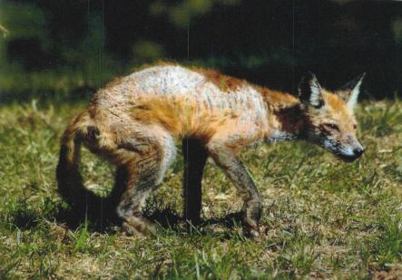 fox-mange