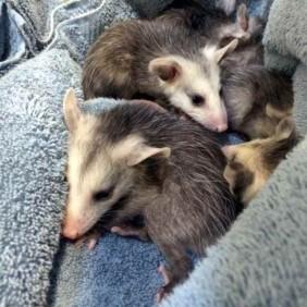 050216,BabyAnimalsAwareness,Opossums