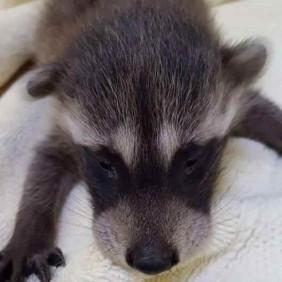 050216,BabyAnimalsAwareness,Raccoon
