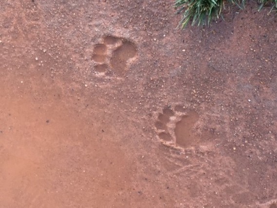 Bear paw prints, Sully Highlands Park, June2016