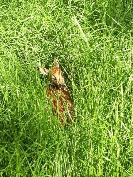 Fawn hidden in grass