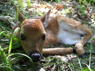 Fawn in grass, closeup