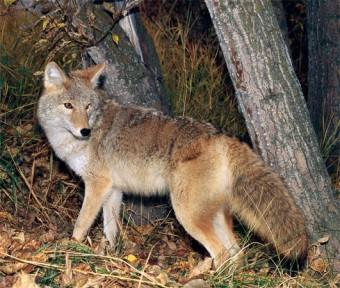 121217,Coyote